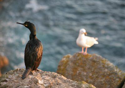 Shag & Gull