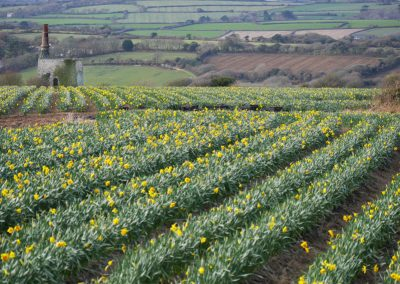 cornish wheal house and daffodils